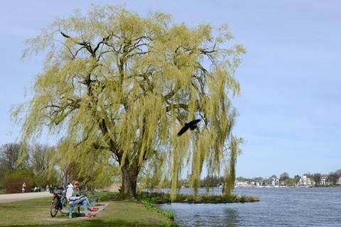 Foto ID 15042046 Eine Trauerweide an der Aussenalster in Hamburg Rotherbaum