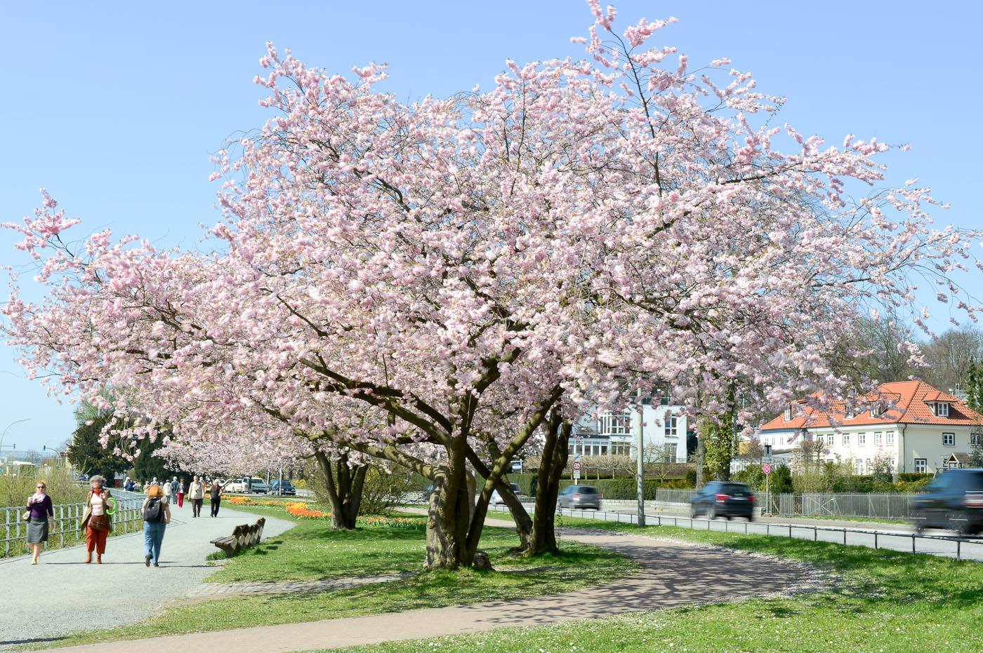 Foto ID 15041603 Blühende Kirschbäume Teufelsbrück in Hamburg Othmarschen